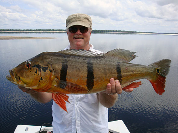 Don Stevens puts a 20 pound Speckled Peacock Bass into the boat early in our big bass trip!